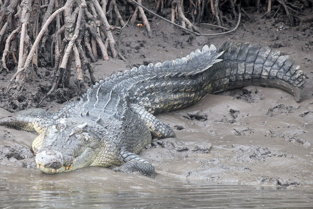 Crocodile resting on the banks of the Daintree river
